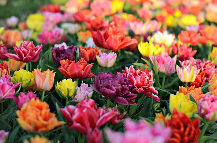 DSC_0453 tulips Lisse