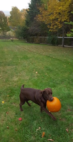 Dove with a 10 lb punpkin