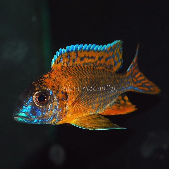 Peacock Cichlid male | Flickr - Photo Sharing!