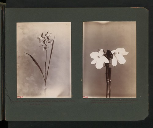 Vanilla Orchid Zanzibariensis