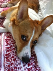 dog breed, animal, dog, pet, mammal, welsh corgi, basenji,