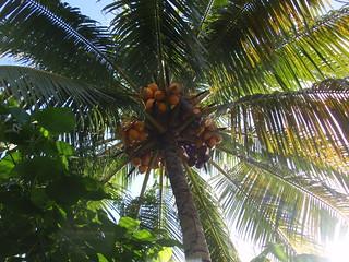 Under A Healthy Malayan Red Dwarf Coconut Tree!