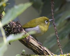 Ceylon White-eye ( Zosterops ceylonensis)