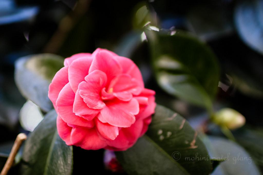 backyard camellia - 1