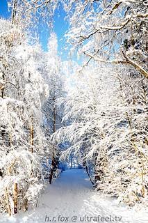 Snowy trees in Switzerland
