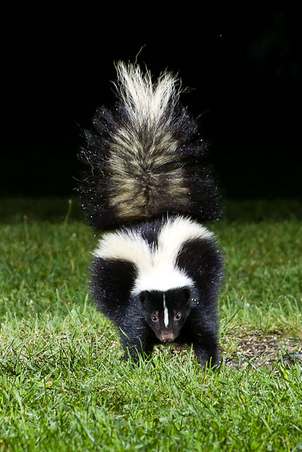 Backyard Skunk