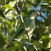 Monk Parakeet (Gerald Broddelez)
