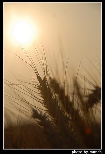 小麥耕種在台灣雖有環境、氣候等限制,但仍有可為之處。(攝影:munch)