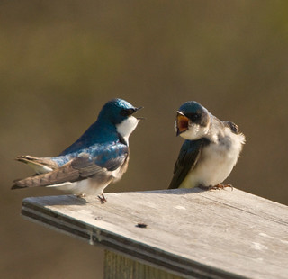 TREE SWALLOWS
