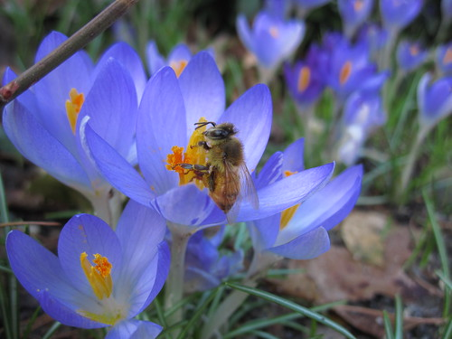 Crocus with Bee