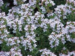 annual plant, shrub, flower, plant, breckland thyme, lilac, herb,