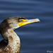 Double Crested Cormorant  by Cesar Pinedo