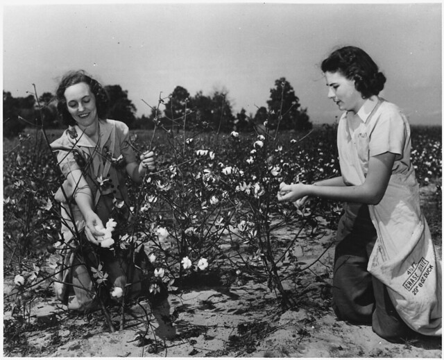 Women pick cotton for the U.S. Crop Corps, ca. 1943