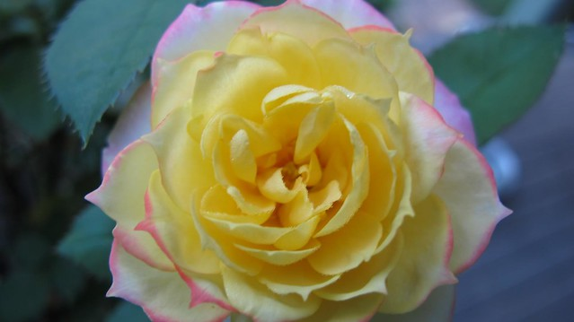 yellow rose with pink tip