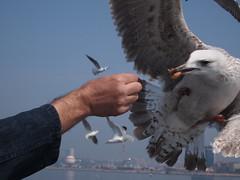 falcon(0.0), bald eagle(0.0), seabird(0.0), animal(1.0), bird of prey(1.0), charadriiformes(1.0), wing(1.0), fauna(1.0), accipitriformes(1.0), beak(1.0), bird(1.0),