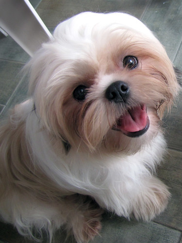 Flickriver: Most interesting photos from Shih Tzu ...
