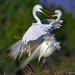 Great Egrets in breeding plumage on the nest