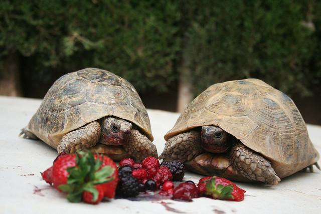 Nuestras tortugas Lola y Maison comiendo fruta