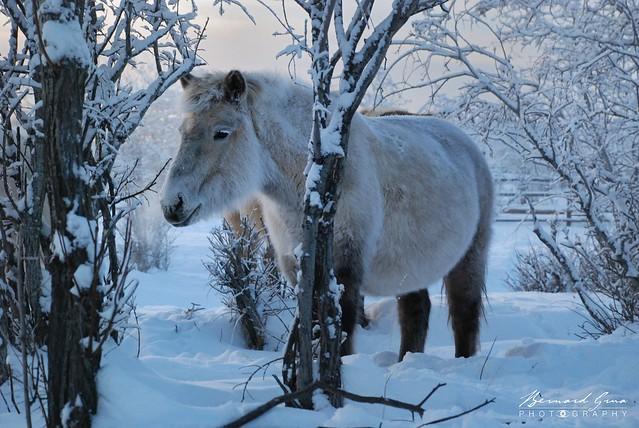 Jument iakoute par -50°C, Tomtor, Iakoutie, Russie © Bernard Grua 2010