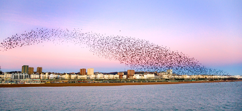 Starlings over Brighton