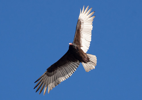 Turkey Vulture with full crop