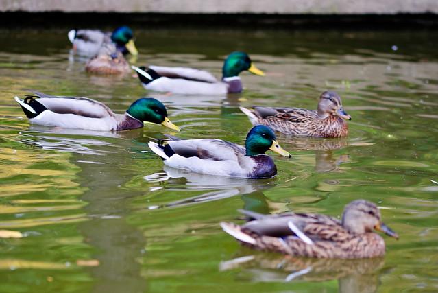 ducks swimming on the - photo #36