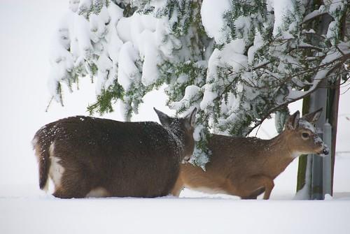 winter deer wilton