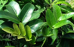 Polyscias (Tetraplasandra) flynnii
