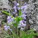 Hyacinthoides hispanica (Paul Harmes)