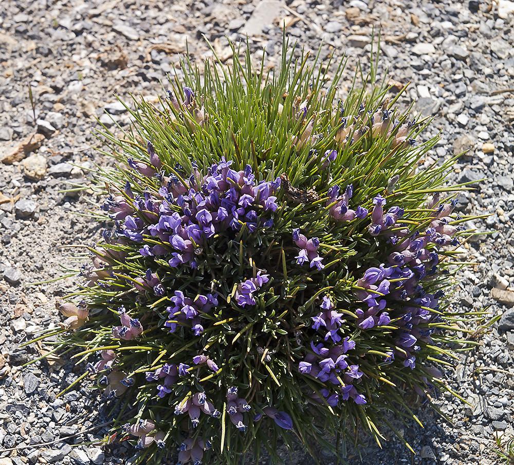 Erinacea anthyllis Link subsp. anthyllis –asiento de pastor, piorno azul, rascaculos–