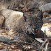 Bobcat (Peter Dunn)