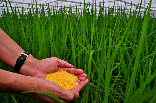 Golden Rice grain in screenhouse.