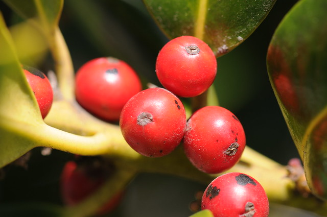 Back Up Camera Law California >> Closeup of round red fruit or accessory fruit | CC0 waiver: … | Flickr - Photo Sharing!