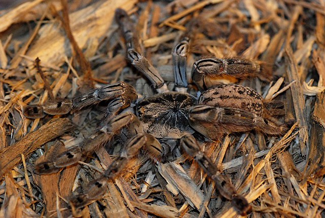 Ornamental Baboon Tarantula Ornamental Baboon Tarantula