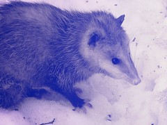 animal, opossum, virginia opossum, mammal, fauna, close-up, blue,