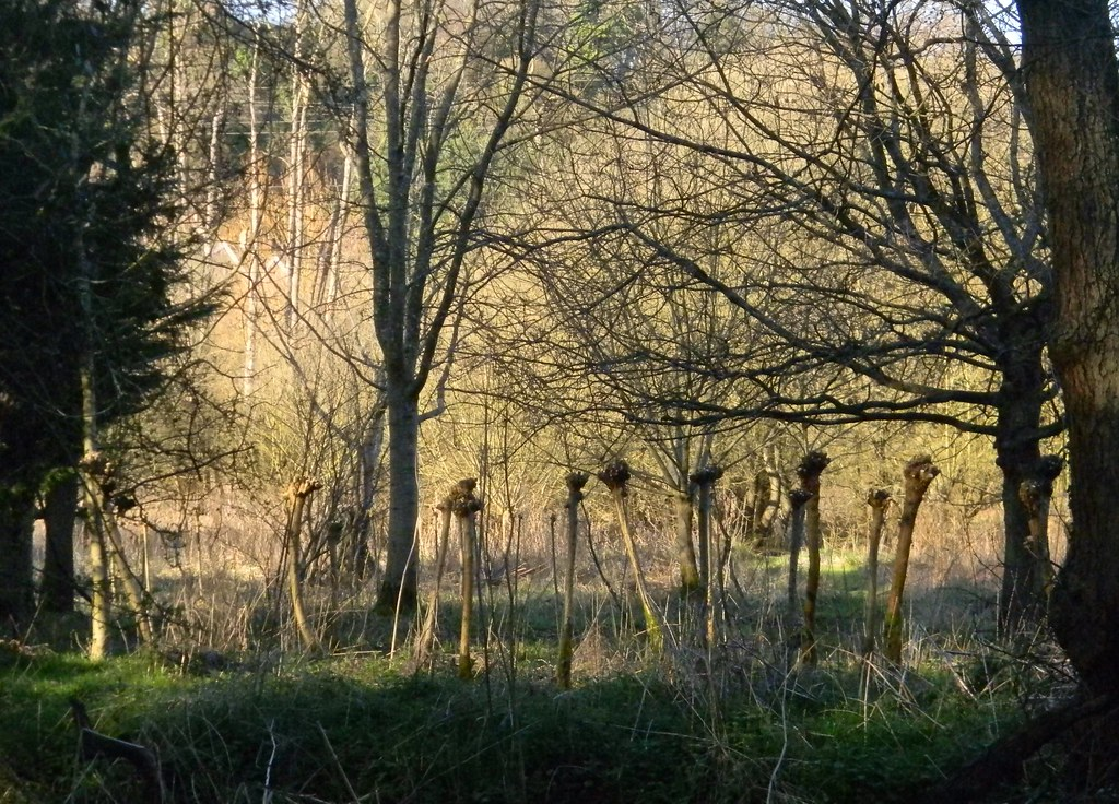 Spooky trunks. Quite a few of these as you approach Godalming. All a bit Blair Witch Could they be osier pollards? Farnham to Godalming