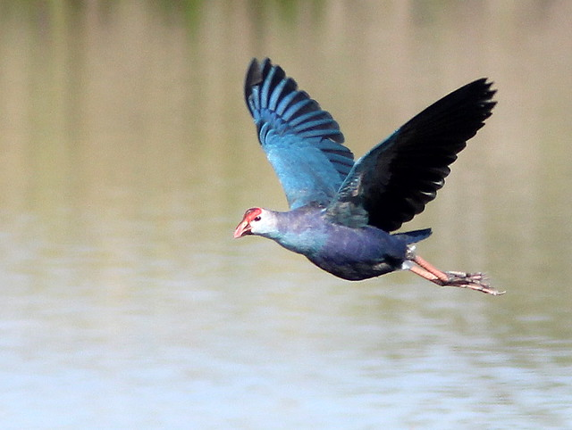 Purple Swamphen in flight 20110323