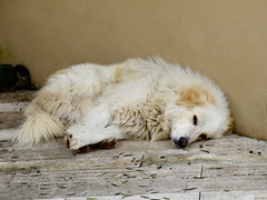 animal, dog, pet, mammal, great pyrenees,