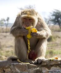 Monkeys, India 2011