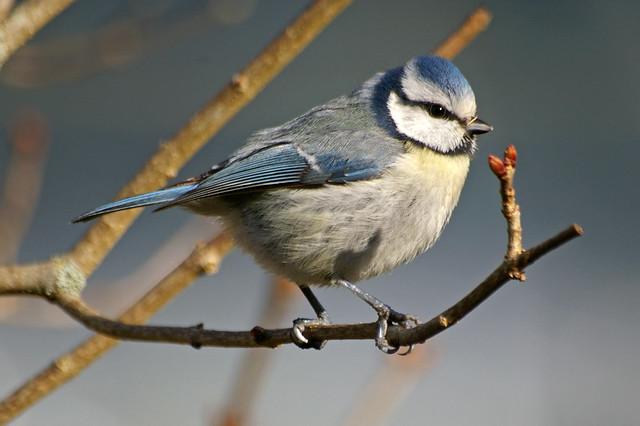 oiseaux du jardin oiseaux de th s e la romaine m sange b flickr photo sharing. Black Bedroom Furniture Sets. Home Design Ideas