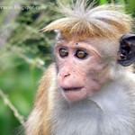 Dusky Toque Monkey(Macaca sinica aurifrons)