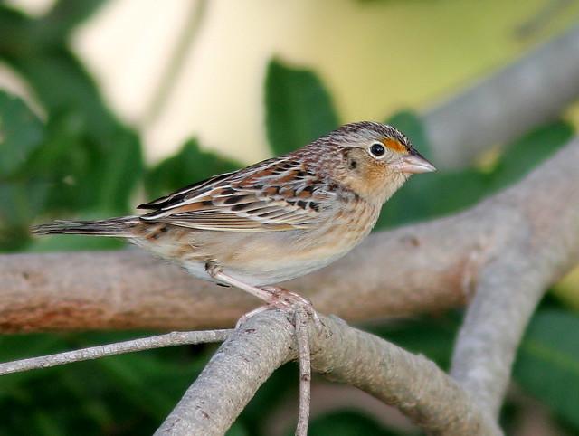 Grasshopper Sparrow 20110201