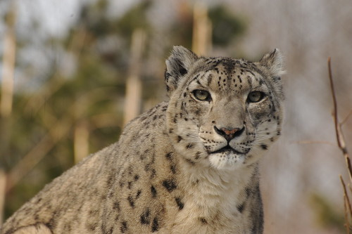 SNOW LEOPARD  /  Zoo Portraits   -    Central Park Zoo,  Manhattan NYC   -   02/07/11