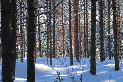 winter pine forest canon suomi finland koivu bruce 7d birch february finnish larch talvi metsä mänty suomalainen helmikuu kuusi lehtikuusi