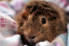 nose, animal, guinea pig, rodent, pet, snout, fauna, close-up, degu, whiskers, rabits and hares,