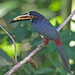 Collared Aracari - Photo (c) Jerry Oldenettel, some rights reserved (CC BY-NC-SA)