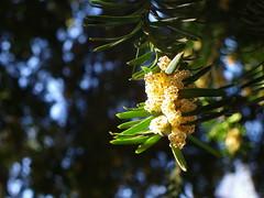 Taxus baccata, macho en floración