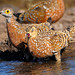 Small photo of Burchell's Sandgrouse (Pterocles burchelli)