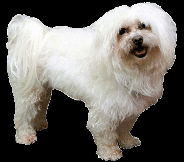 maltese dog clipart - photo #10