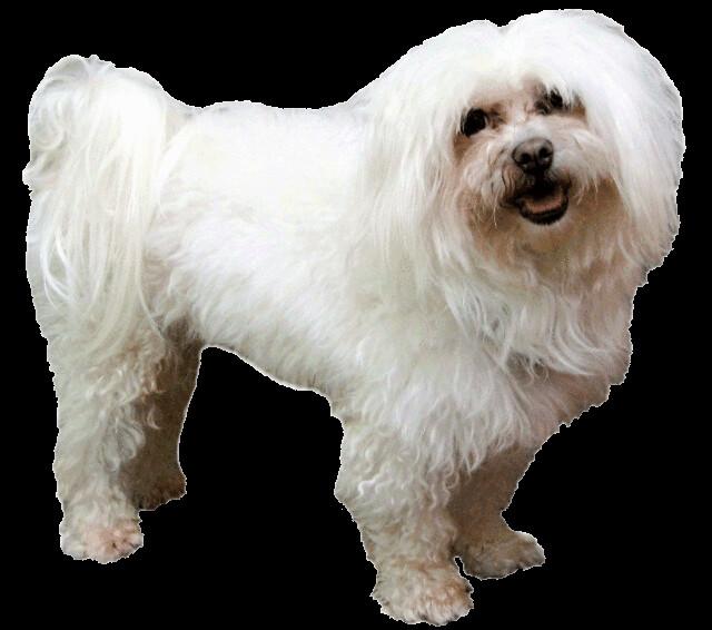 free clipart maltese dog - photo #5